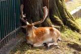 A deer rests in the Hirschpark, Rapperswil