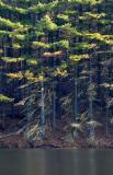 Impounding Pines AM.jpg