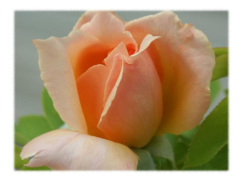 Peach Rosebud
