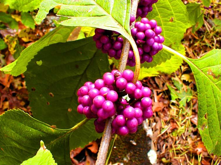Beauty Berries.jpg