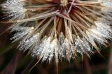 Dewdrops on a Wish