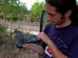 Stock Dove (Columba oenas) Paloma zurita - Xixella