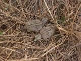 Stone Curlew chick (Burhinus oedicnemus) Alcaraván - Torlit