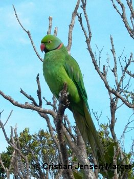 Echo Parakeet (Psittacula echo)