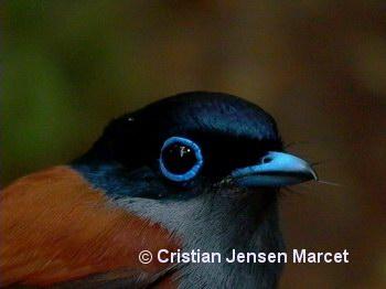 Mascarene Paradise Flycatcher (Terpsiphone bourbonnensis)