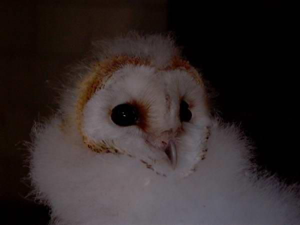 Barn Owl (Tyto alba) Lechuza - Òliba