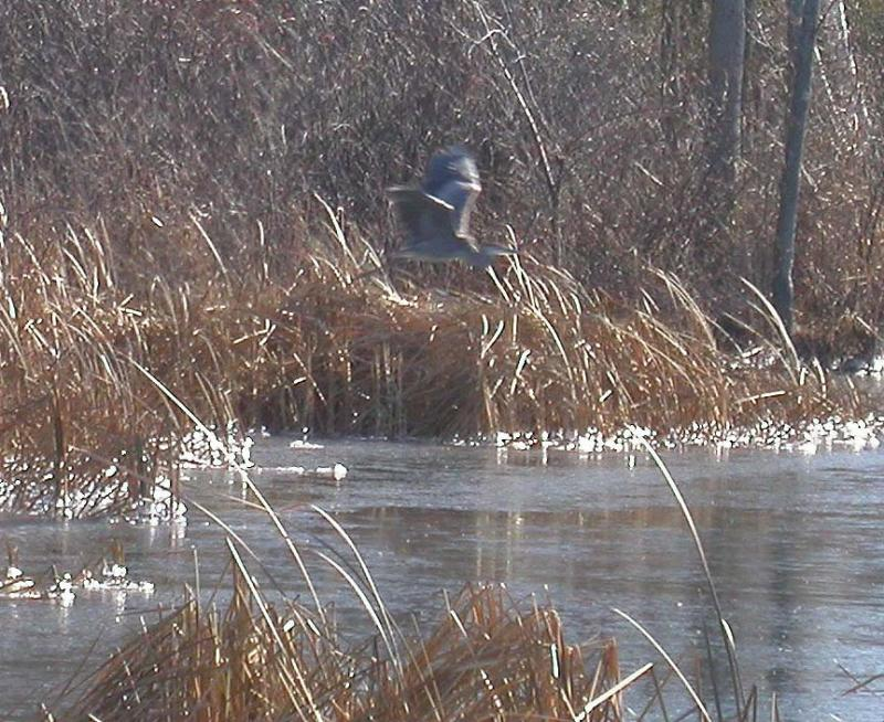 heron over ice - 2