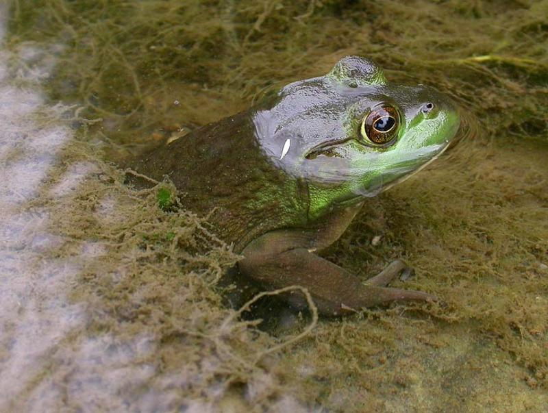 Bull frog -- <i>Rana catesbeiana</i> -- female -- view 1