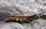 Grasshopper on limestone in alvar area