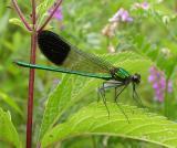 River Jewelwing damselfly -- male -- Calopteryx aequabilis