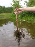 Purple Loosestrife -- roots and swollen stalk