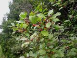 Rhamnus frangula -- Smooth Buckthorn