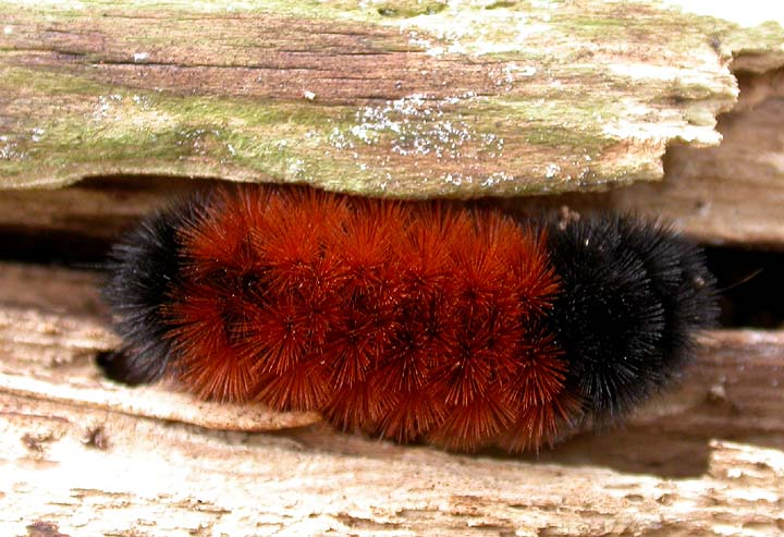 Woolly bear caterpillar found under log