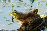 Bull Frog.jpg