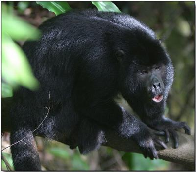 Black Howler - Male