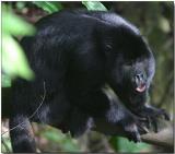 Black Howler - Male