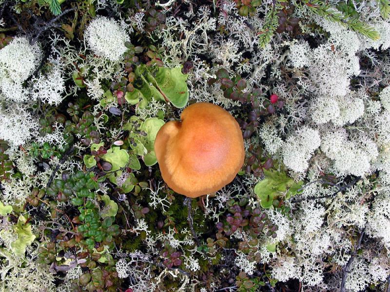 Tundra mushroom