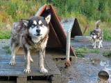 Malamute dog lot