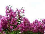 Lagerstroemia indica or Crape Myrtle Tree