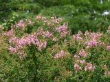 Lagerstroemia 'Sioux' or Crape Myrtle Tree, Pink Variety