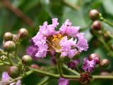 Lagerstroemia or Crape Myrtle Pink Blossom