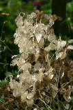 Money Plant or Lunaria annua