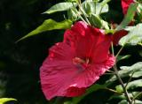 A Giant Red Pancake Hibiscus