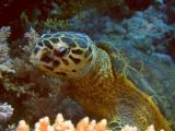 Hawksbill turtle eating soft corls - 06