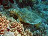 Hawksbill turtle eating soft corls - 07