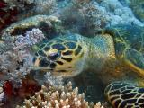Hawksbill turtle eating soft corls - 09