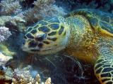 Hawksbill turtle eating soft corls - 10
