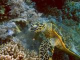 Hawksbill turtle eating soft corls - 11