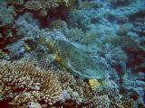 Hawksbill turtle eating soft corls - 15