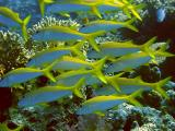 Yellowfin Goatfish at the Small Crack