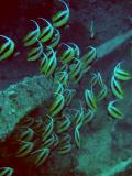 Redsea Bannerfish at the Thistlegorm