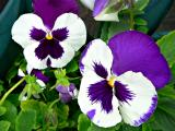 purple pansy.jpg