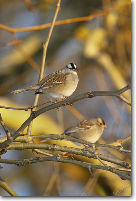<!-- CRW_4307.jpg -->White-Crowned Sparrows