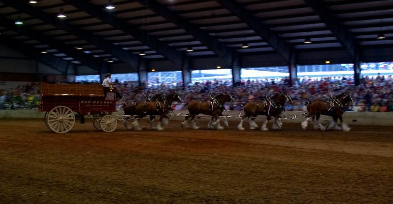 budweiser. eight horse hitch