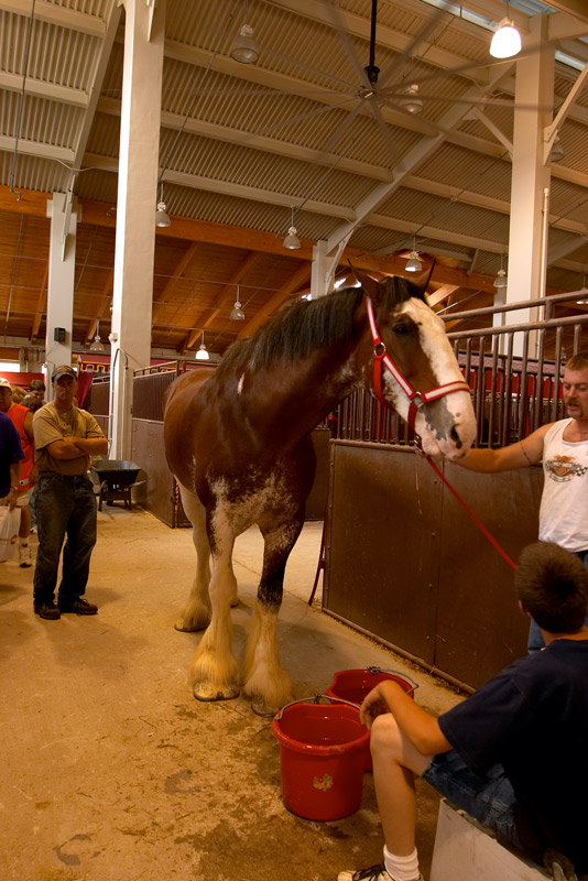 clydesdale at the fair