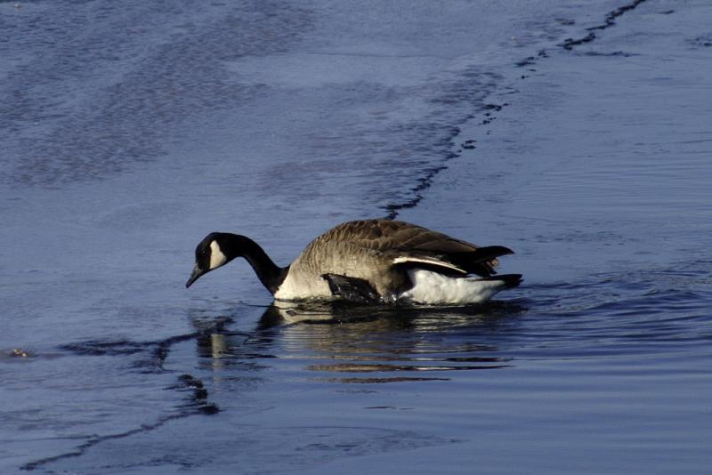 Climbing goose