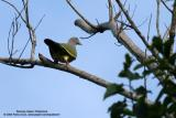 Pink-necked Green-Pigeon  Scientific name - Treron vernans   Habitat - Uncommon, in lowlands from mangroves, cultivated areas and forests.