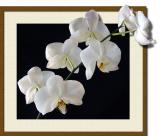 Orchid-Sprig2+-FRM.jpg
