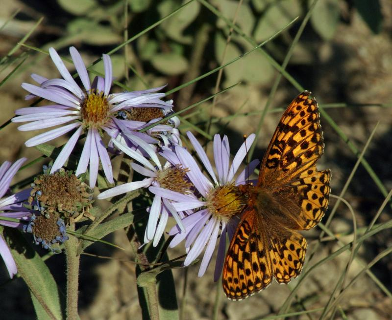 aphrodite_frit_on_asters.jpg