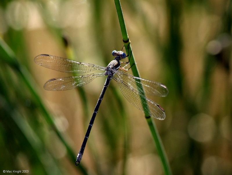 dragonfly_blue.jpg