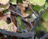 Shy Ruby Kinglet