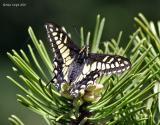 anise_swallowtail_on_pine.jpg