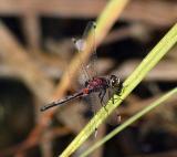 dragonfly_red.jpg