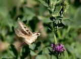 hummingbird_moth_tongue.jpg