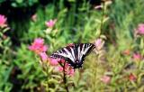 pale_swallowtail2.jpg