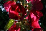 hollyhocks_late_evening_sun2.jpg